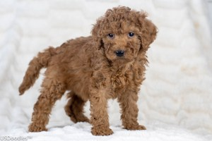 Photo Gallery- F1b Labradoodle 46