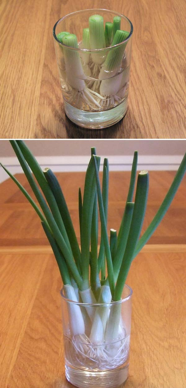 Keep Fresh Greenery At Grasp With Vegetables That Regrow From Scraps-usefuldiyprojects (7)
