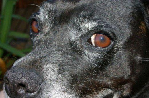 Dog Eyelids Growths M On Eyelid Styes