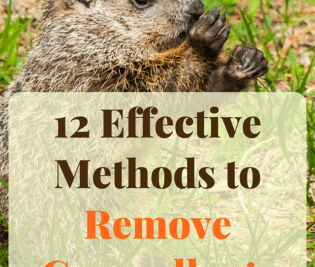 Learn How To Get Rid Of Groundhogs Forever