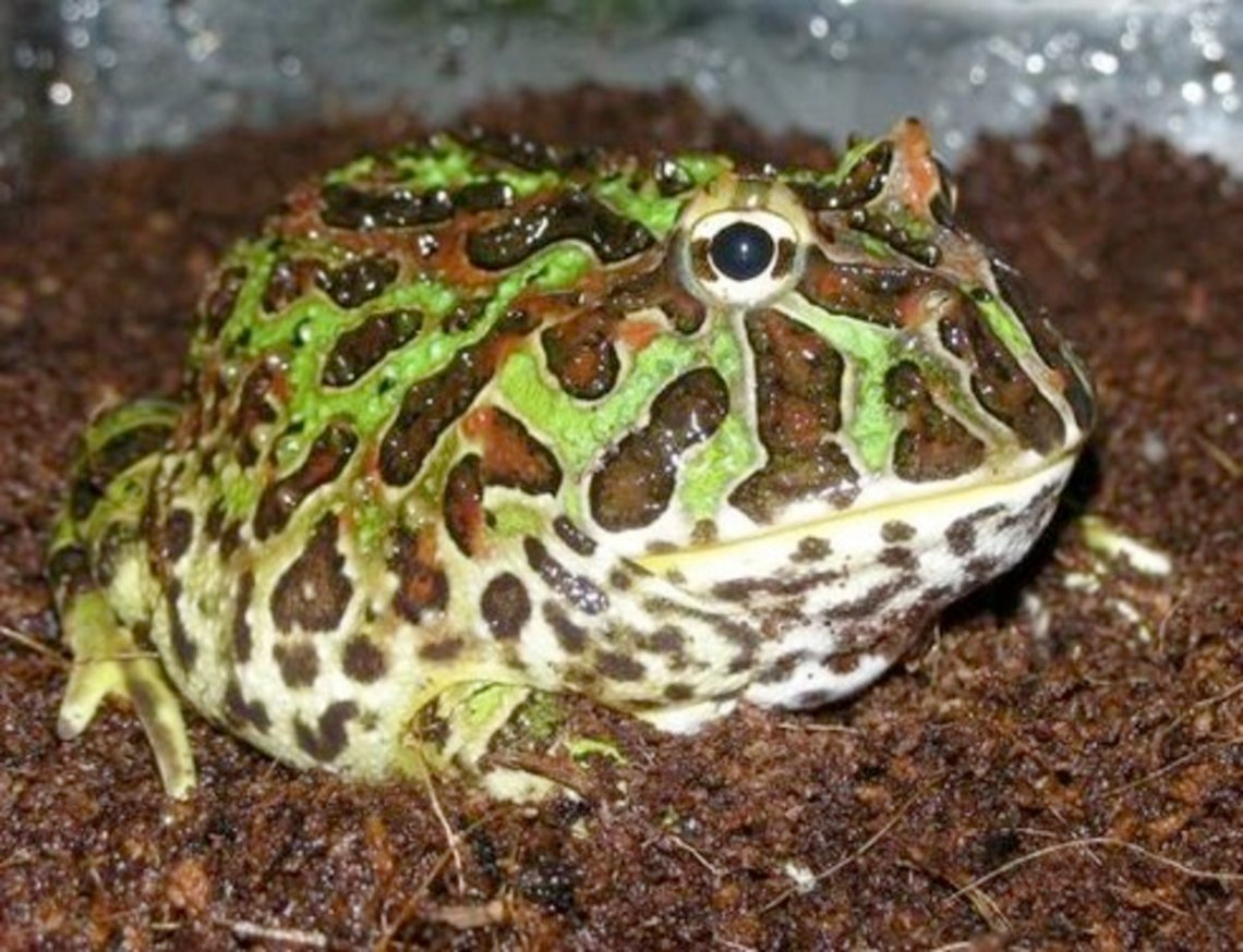 Just Make Sure That You Do Your Research Before Picking A Pet Frog So That You Know How To Properly Care For It