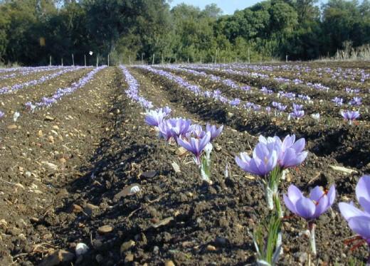 Buy Saffron Crocus Sativus Bulbs Online | hubpages