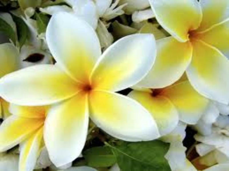Fragrant Flowers of Hawaii   Owlcation White   Yellow Plumeria
