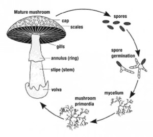 Classification of Fungi | hubpages