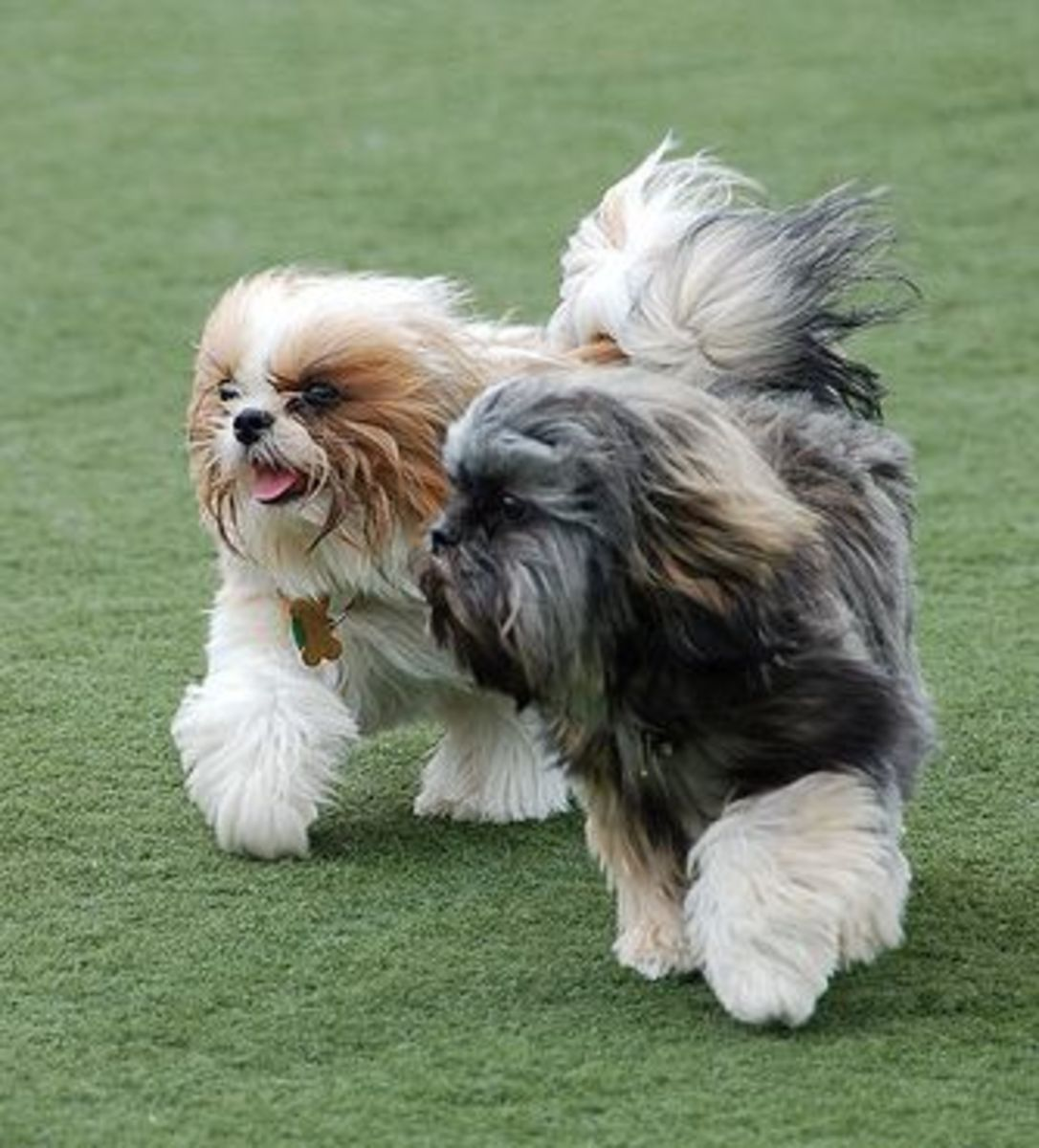 5 Small Dog Breeds That Don T Shed Much