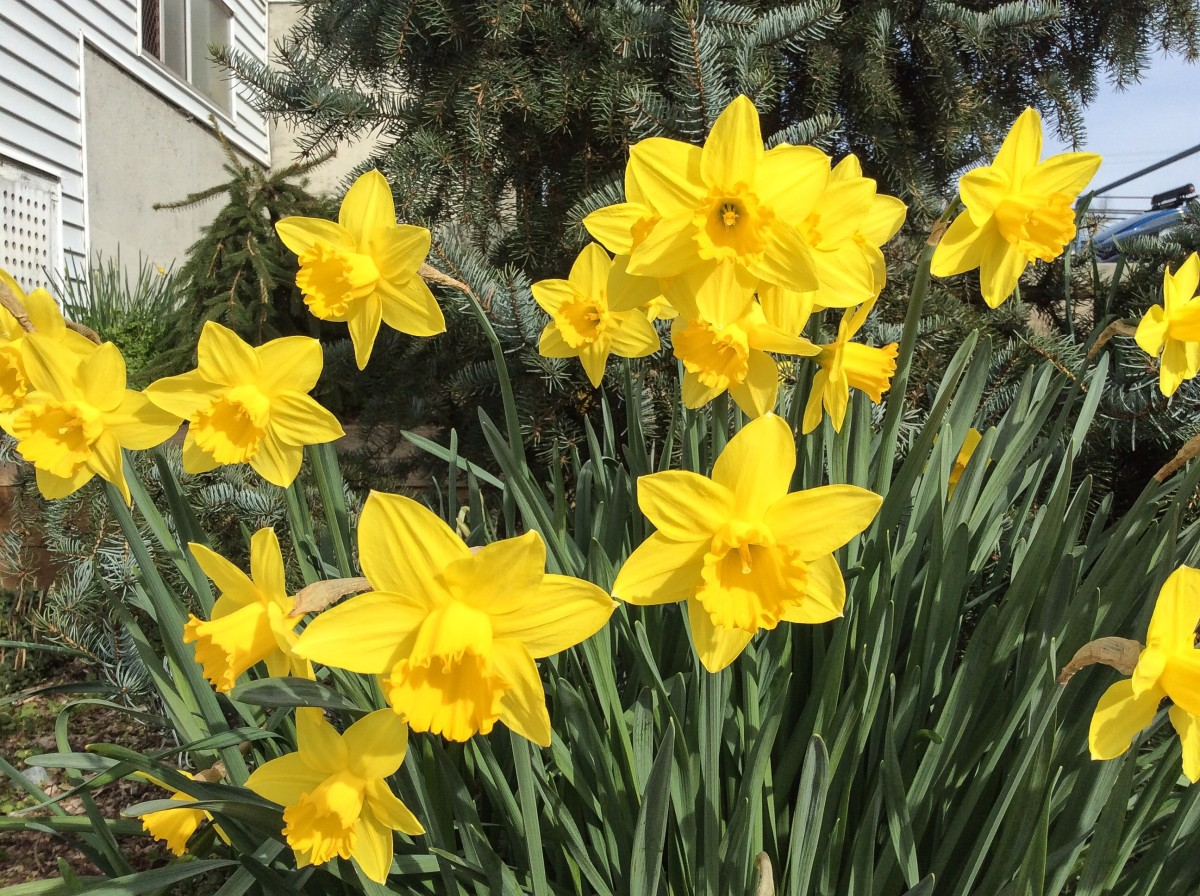 Daffodils  Beautiful Flowers and a Symbol of Hope   Owlcation Beautiful daffodils in March