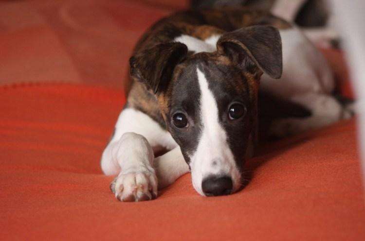 Whippets são cães limpos e quietos e dormem a maior parte do dia.