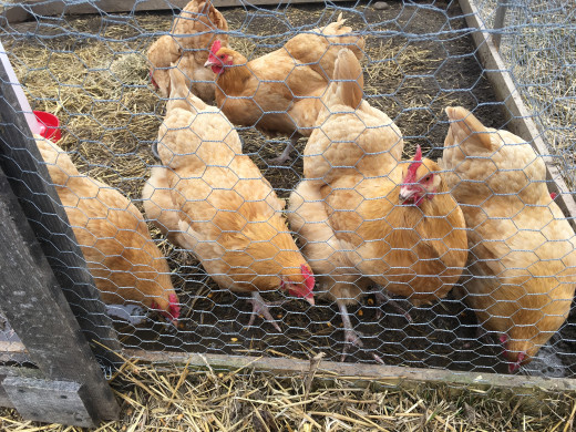 Chickens on a homestead