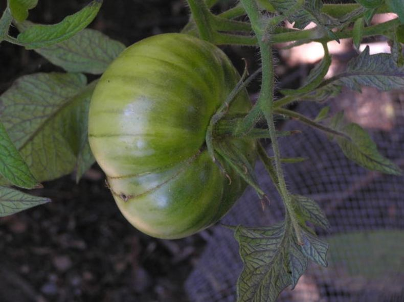 These yellow streaks on a tomato indicate low nitrogen in the soil.