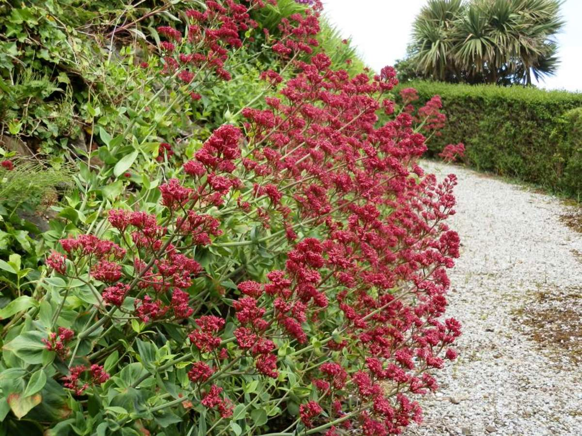 Centranthus Ruber Red Valerian HubPages
