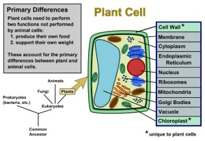 Plant Cells Vs Animal Cells (With Diagrams) | Owlcation