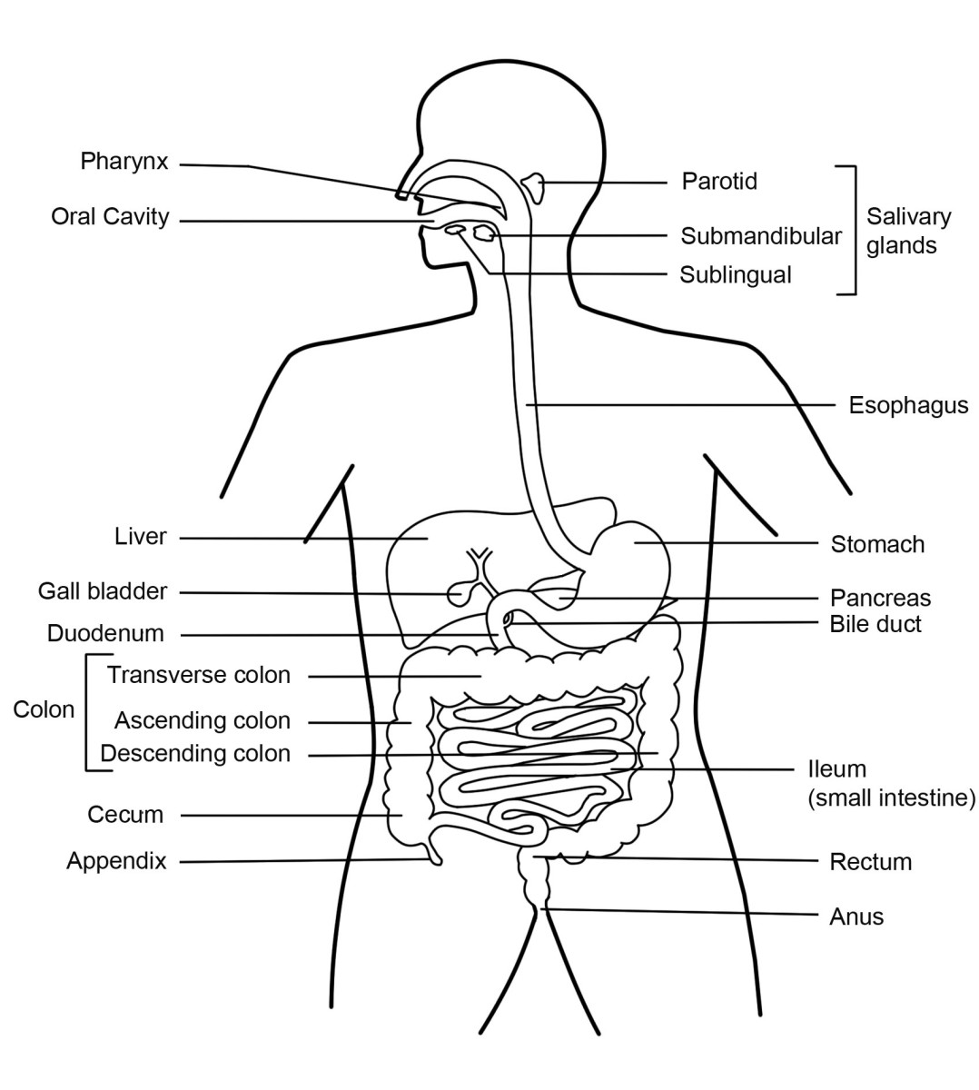 The Digestive System Diagram Organs Function And More