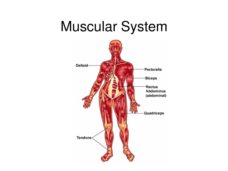 Cartoon Muscular System Worksheet