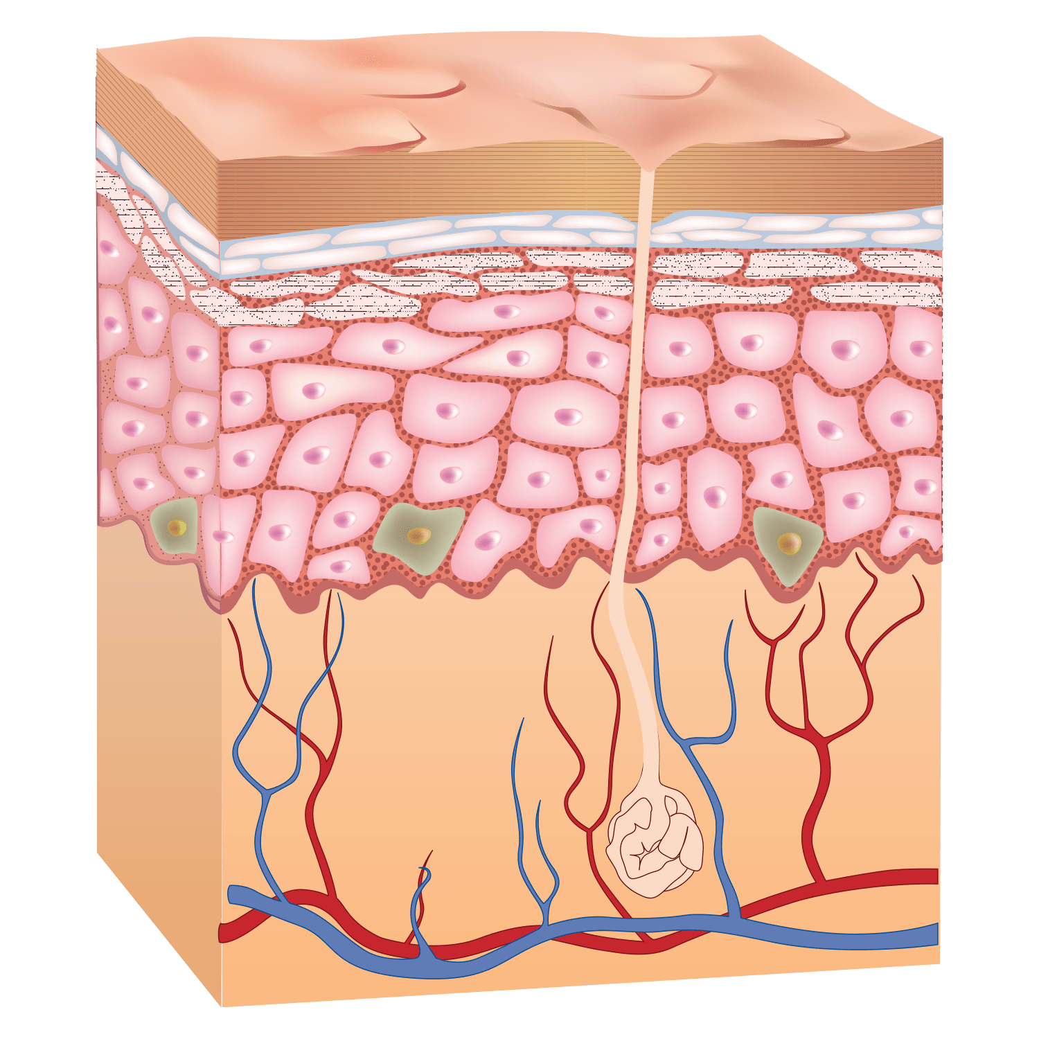 Intergumentary System On Emaze