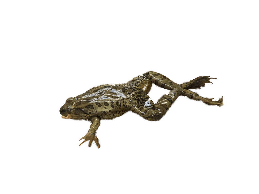 Frog Circulatory System On Emaze