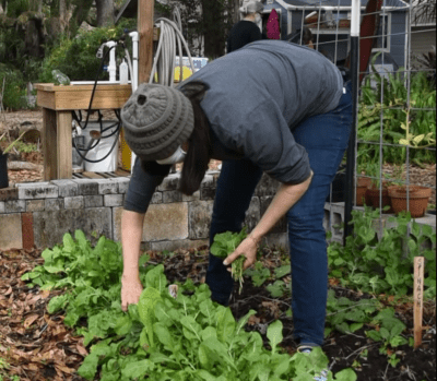 A woman volunteer pulls green leafy vegetables at the Seminole Heights Community Gardens