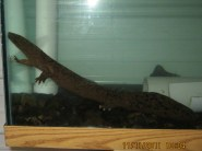 An adult eastern hellbender at our rearing facility in Salamanca, New York. Credit: Shane Titus.