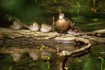 A blue-winged teal and her ducklings. Credit: USFWS