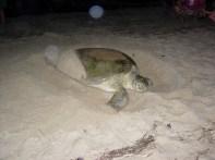 Green sea turtle nesting. Credit: USFWS