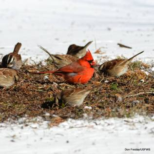 White-throated sparrows and a cardinal at Edwin B. Forsythe National Wildlife Refuge. Credit: Don Freiday/USFWS