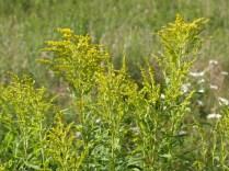 Goldenrod, a nectar source for monarch butterflies.