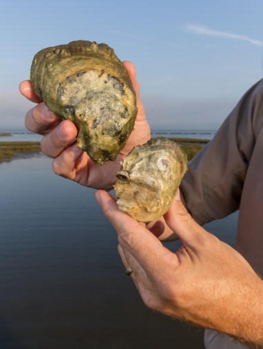 A living shoreline is alive in more ways than one. The ecosystem benefits provided by the oysters are a big benefit to the local aquatic community. Credit: Steve Droter