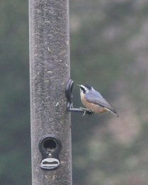 Red-breasted Nuthatch- Photo by Jon Dale