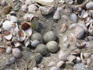 Plover eggs in the sand. Photo by Patrick Commins, Audubon CT