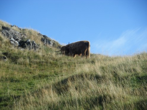 Scottish cows. They're quite intimidating when you must cross the herd.