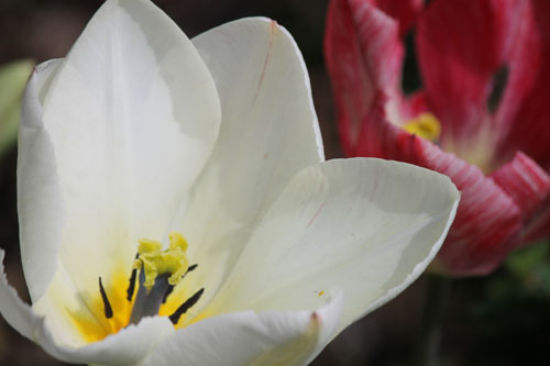 Tulip opening up