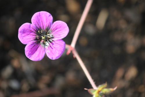 geranium01