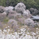 吉野山の桜の見頃やアクセスと駐車場情報 歴史を知れば趣も違う!?