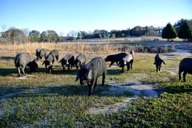 Porcs noirs à Twin Oaks Farm_usproject2016.com