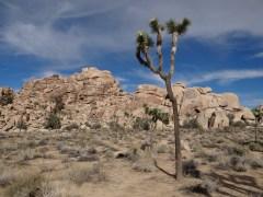 Joshua Tree (1)