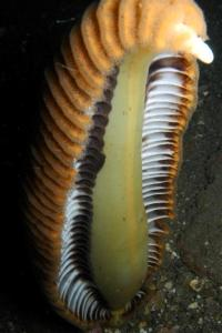 a spectacular sea pen from the waters around East Timor