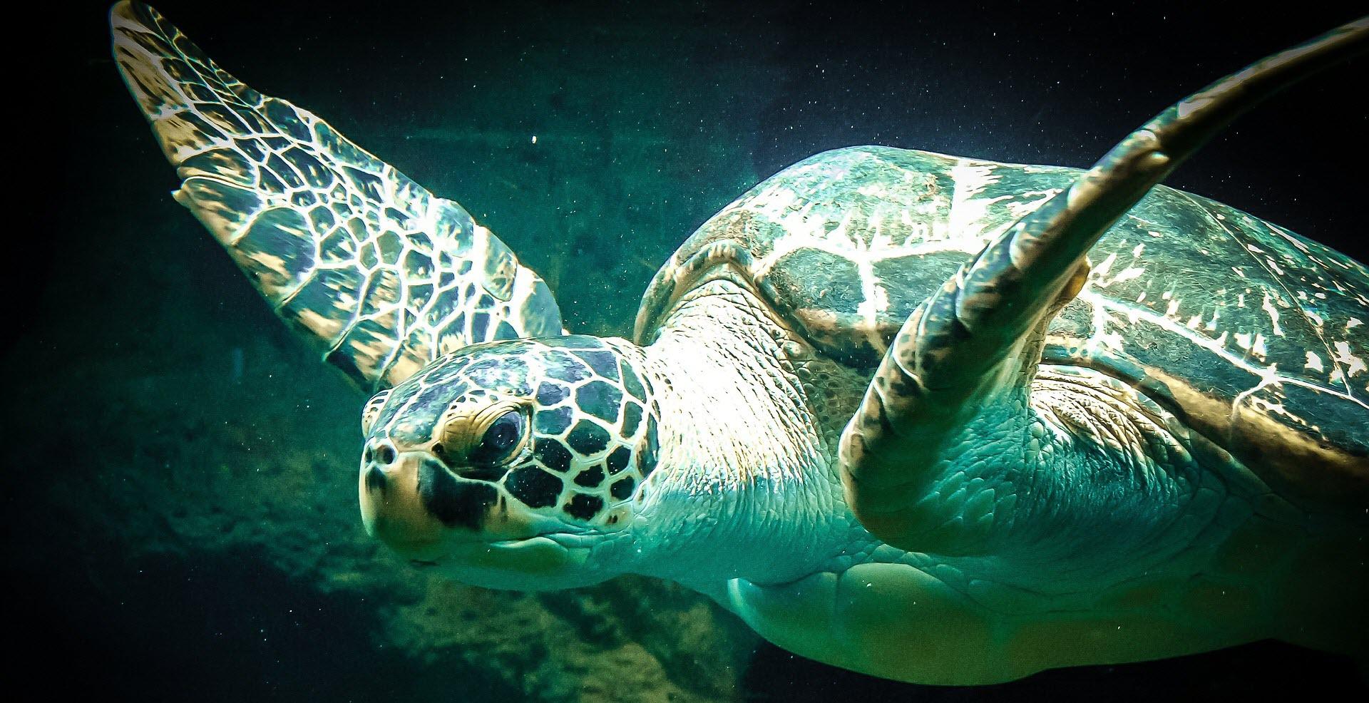 sea-turtle-427942_1920