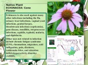 Native Plant coneflower malaria