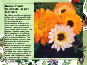 Native Plants Calendula, or pot marigold anti inflamatory