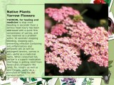 Native Plants Yarrow Flowers stop bleeding in seconds