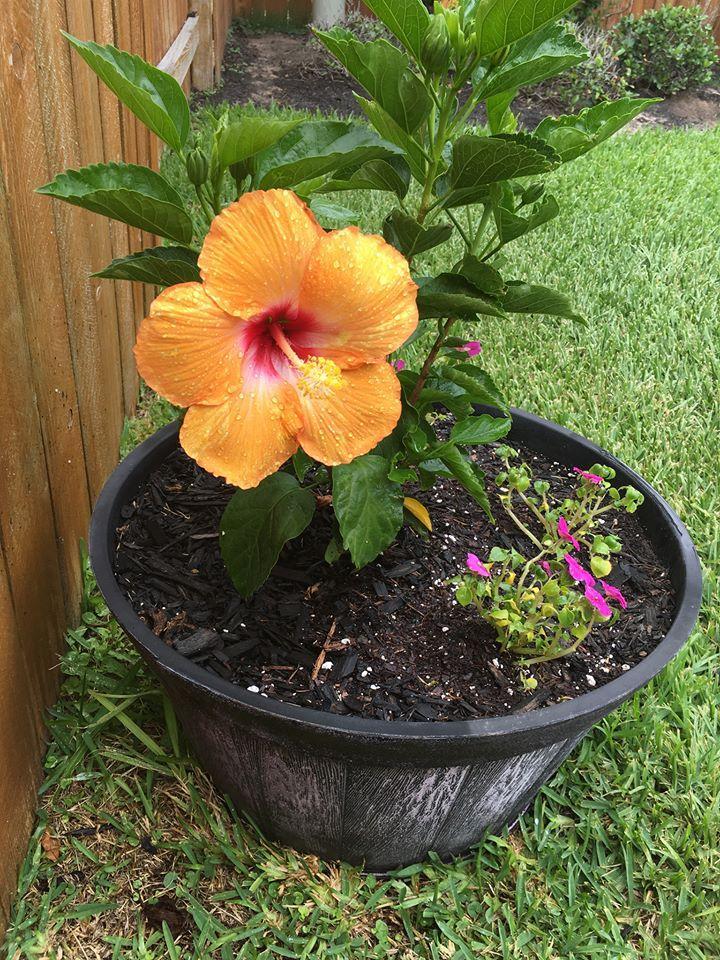 perfect hibiscus