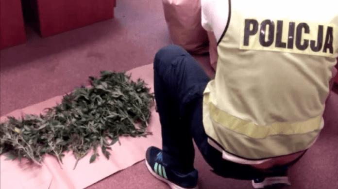 Mieszkaniec Ustki miał na poddaszu plantację marihuany - ustka24.info