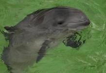 19 maja - Międzynarodowy Dzień Bałtyckiego Morświna - ustka24.info