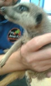 Close up of the Meerkat