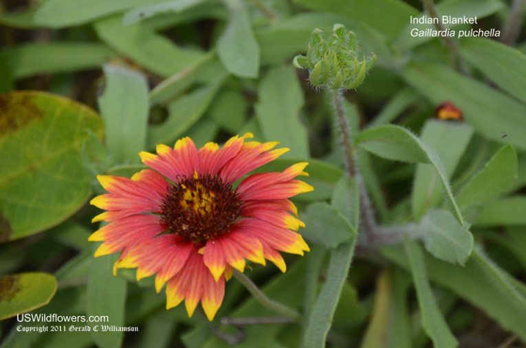 US Wildflower   Indian Blanket  Indian Blanketflower  Firewheel     Gaillardia pulchella