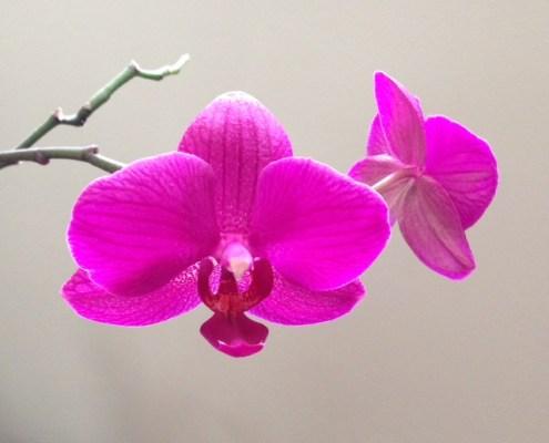 Utah Orchid Society