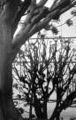 Tree Reflection - Culver City, CA