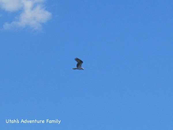 The osprey was fishing and we saw it catch something. It was neat to watch.