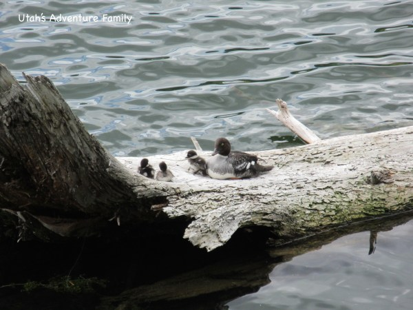 We were in love with these birds--Barrow's Goldeneye with three little chicks. Adorable!