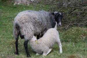 Ett hungrigt lamm