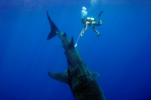 Shark_whale tagging 02